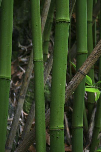Landscape Photograph - Bamboo Road To Hana Maui by Mike Malandra