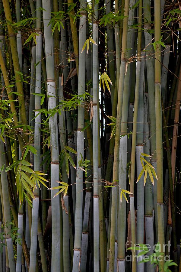 Bamboo Shoots Photograph