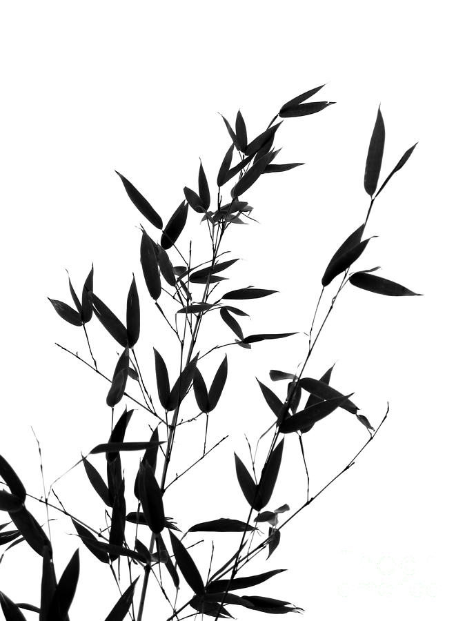Bamboo Tree And Branches Photograph By Yali Shi