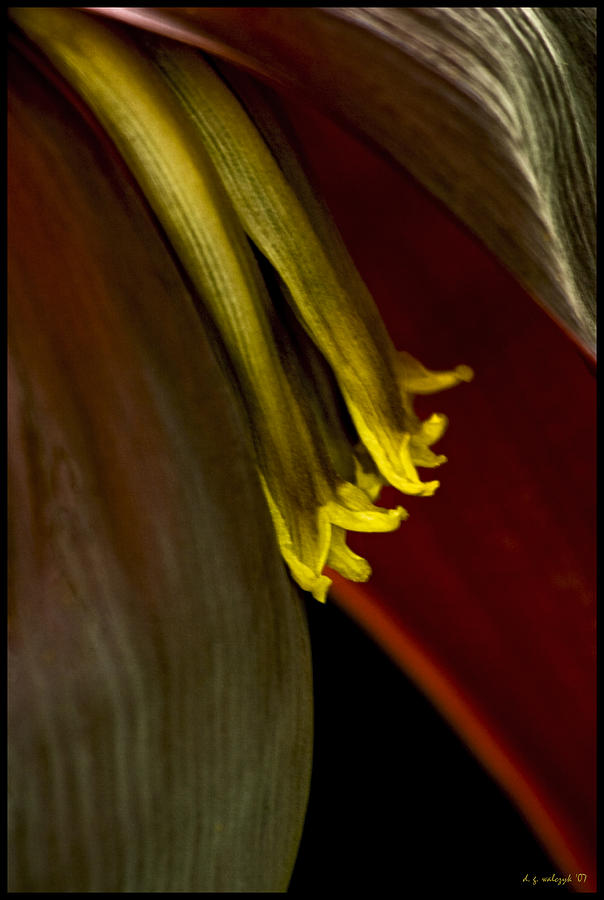 Flora Photograph - Banana Blossom by Daniel G Walczyk