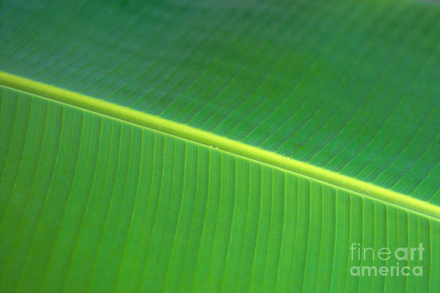 Agriculture Photograph - Banana Leaf by Dana Edmunds - Printscapes