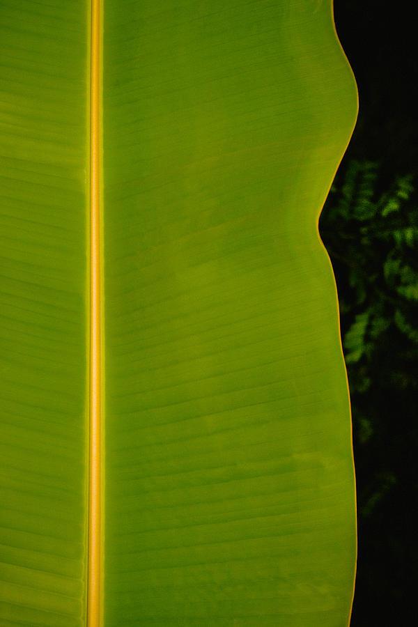 Banana Leaf Photograph - Banana Leaf by Totto Ponce