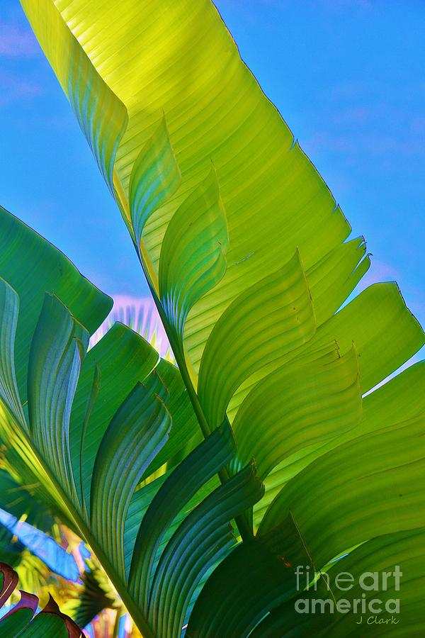 Banana Photograph - Banana Palm by John Clark