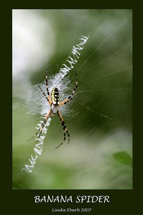 Spiders Photograph - Banana Spider by Linda Ebarb
