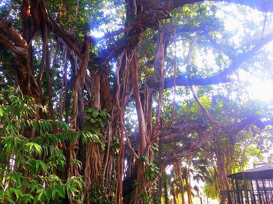 City Photograph - Banana Tree by Atullya N Srivastava