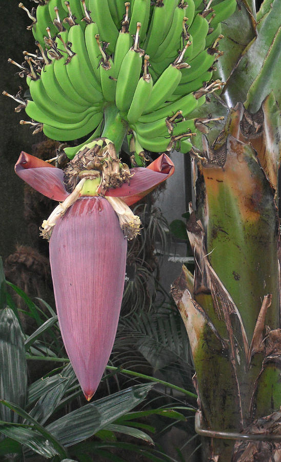 Photograph Photograph - Banana Tree Pod by Candace Shockley