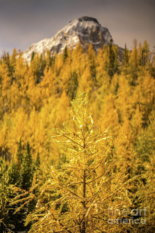 Alpine Lakes Photograph - Banff Golden Larch Dream World by Mike Reid