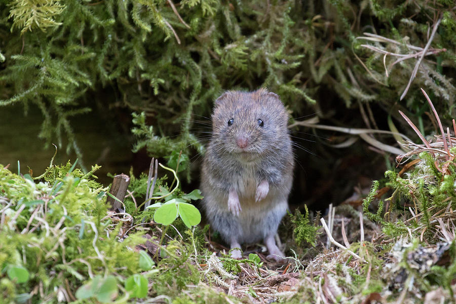 Bank Vole - Scottish Highlands by Karen Van Der Zijden