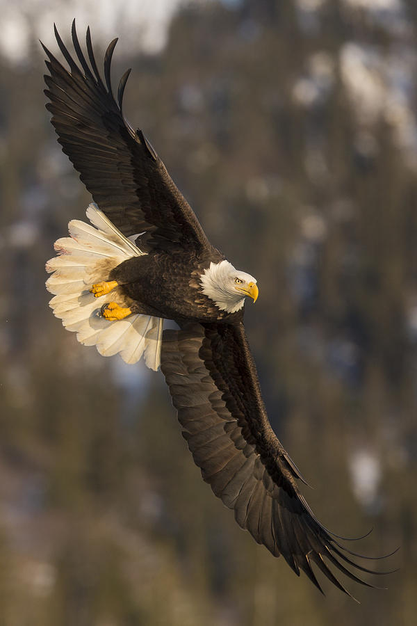 Banking Bald Eagle by D Robert Franz