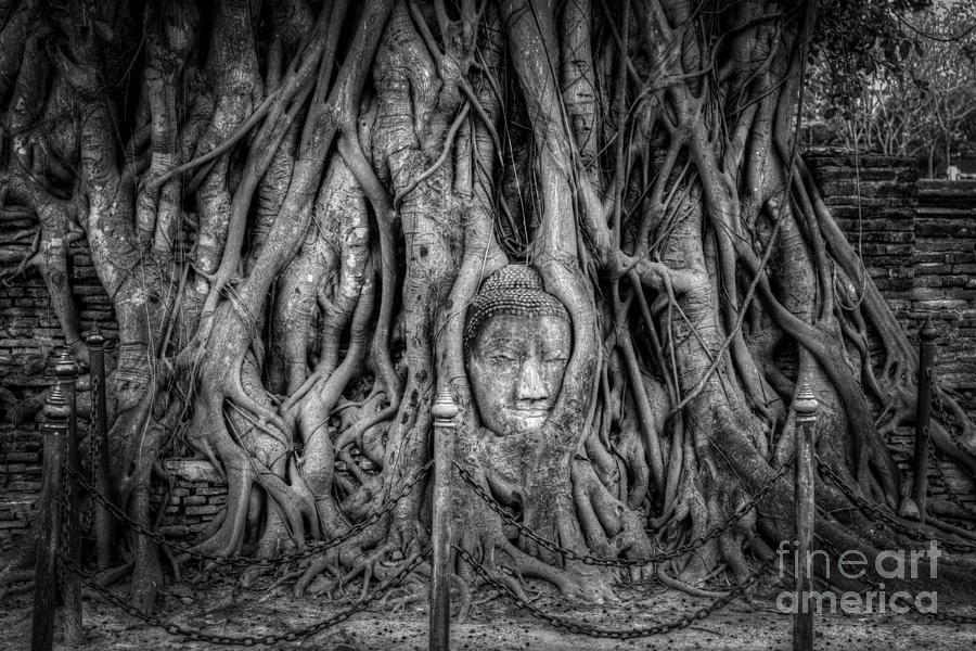 Ayutthaya Photograph - Banyan Tree by Adrian Evans