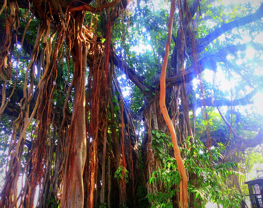 City Photograph - Banyan Tree by Atullya N Srivastava