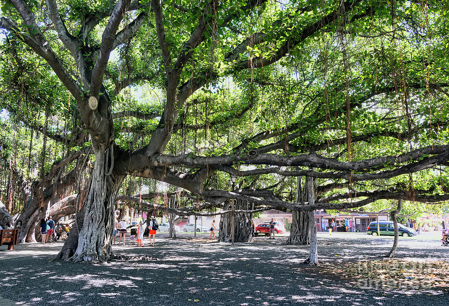 Banyan Photograph - Banyan Tree by Eddie Yerkish