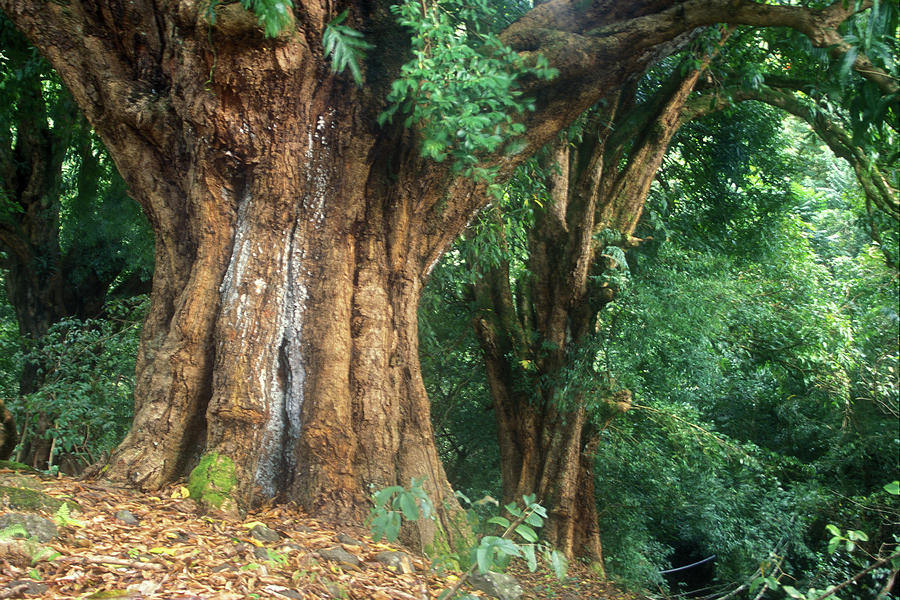 Hawaii Photograph - Banyan Tree Haleakala National Park by John Burk