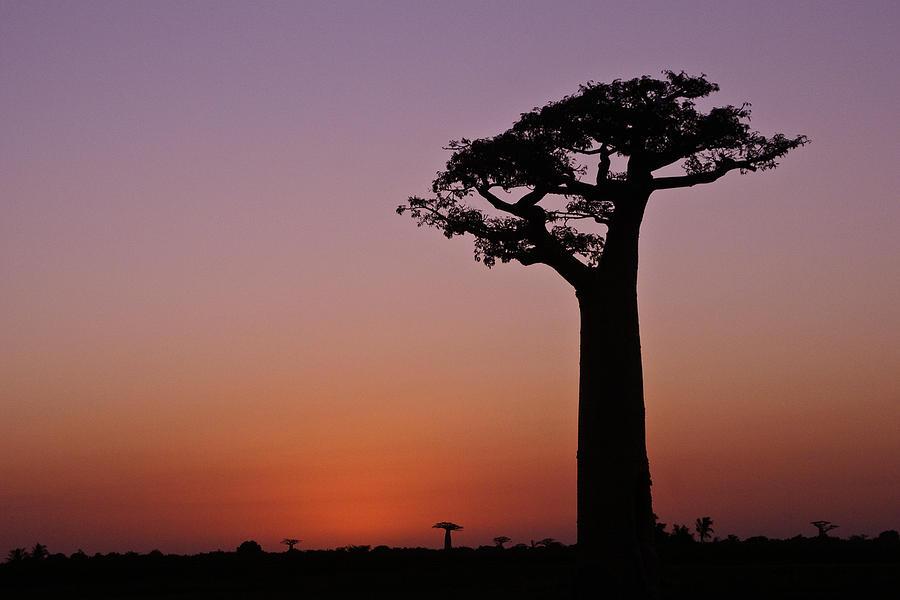 Madagascar Photograph - Baobab At Sunset by Michele Burgess