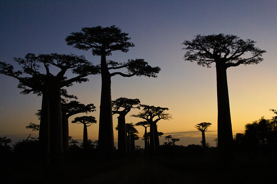 Madagascar Photograph - Baobab Forest At Sunset by Michele Burgess