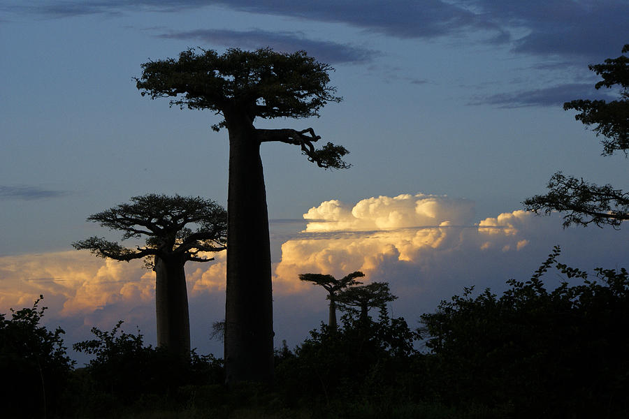 Madagascar Photograph - Baobabs And Storm Clouds by Michele Burgess