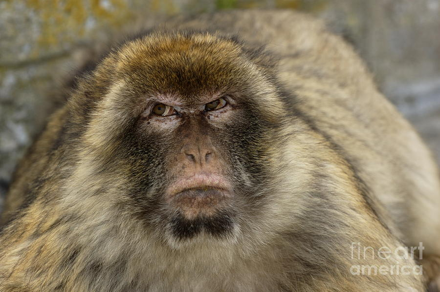 Adorable Photograph - Barbary Macaque Looking Away In Annoyance by Sami Sarkis