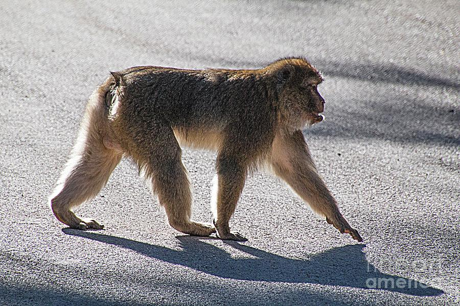 Macaque Photograph - Barbary Macaque, Morocco by Jim Wright