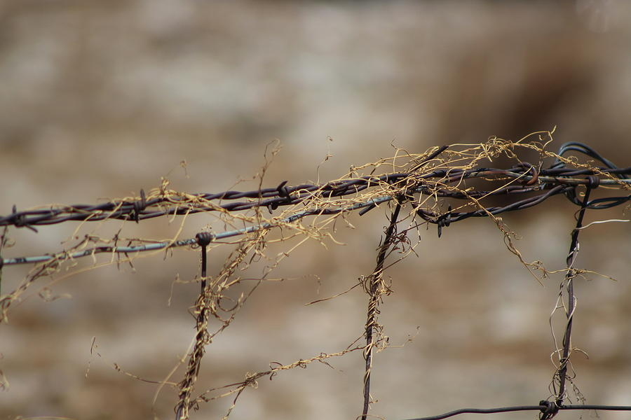 Golden Photograph - Barbed Wire Entwined With Dried Vine In Autumn by Colleen Cornelius