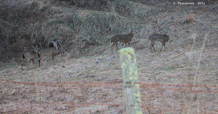 Fence Photograph - Barbwire And Whitetails by Carolyn Postelwait