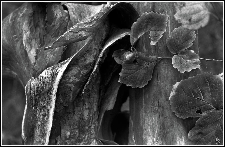 Bark Forms And Witch Hazel Photograph By Wayne King