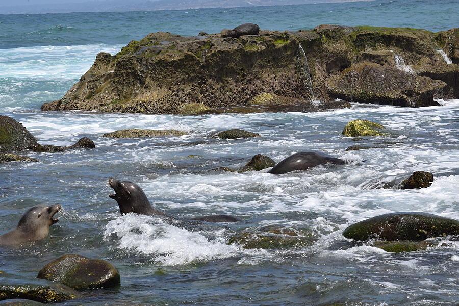 Barking Sea Lions Photograph
