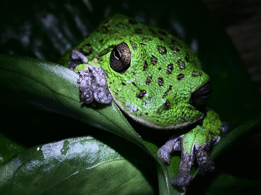 Barking Treefrog Photograph - Barking Treefrog by JC Findley