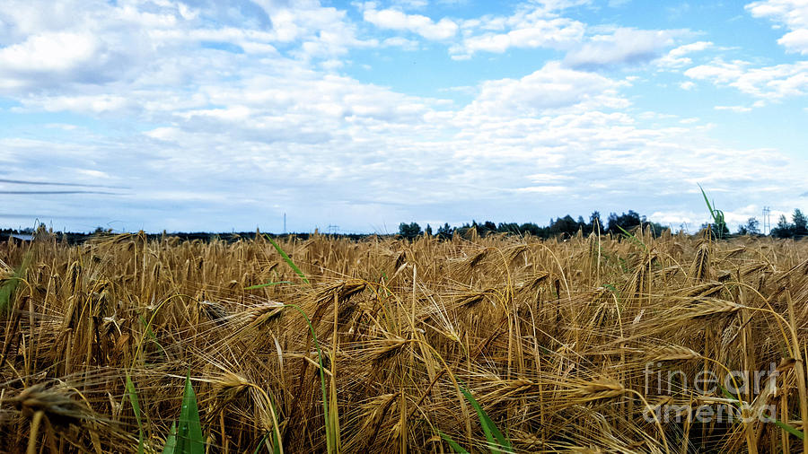 Landscape Photograph - Barley And Sky In Oulu, Finland. by Cesar Padilla