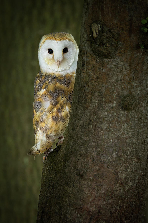 Barn Owl 1 Photograph