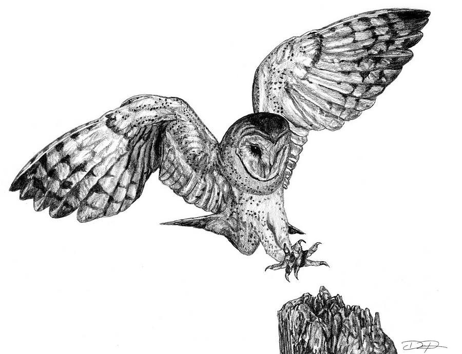 Barn Owl Drawing - Barn Owl by Dan Pearce