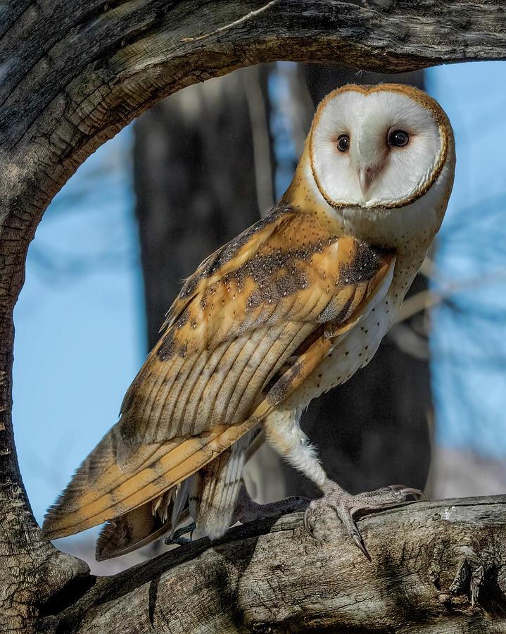 Barn Owl Photograph - Barn Owl Framed In Cottonwood by Dawn Key