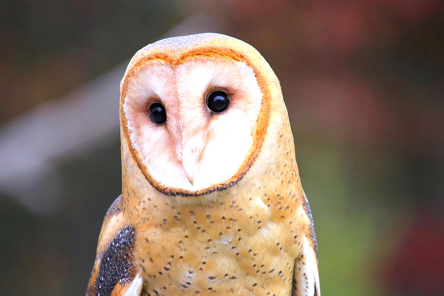 Barn Owl II Photograph by Tony Umana