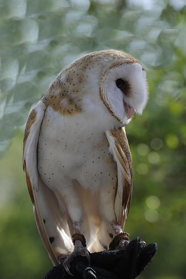 Barn Owl Photograph - Barn Owl by Keith Lovejoy