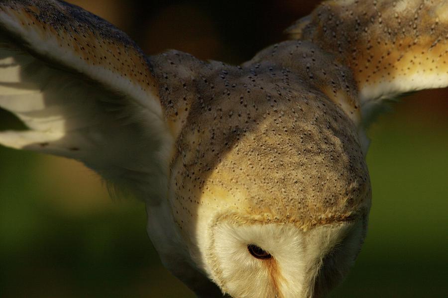 Barn Owl Open Wings Photograph By Jean Pierre Heijmann