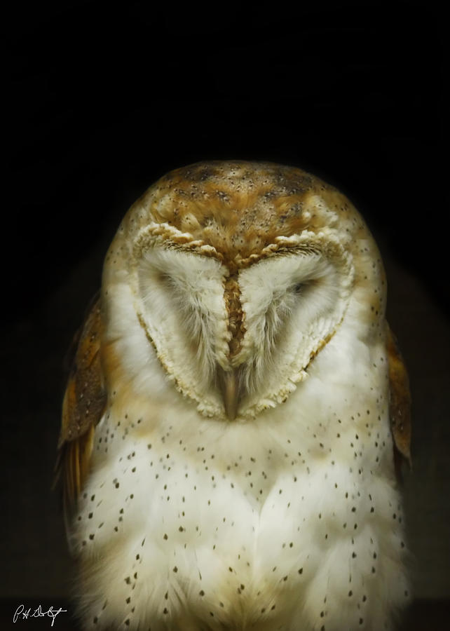 Barn Owl Photograph - Barn Owl by Phill Doherty