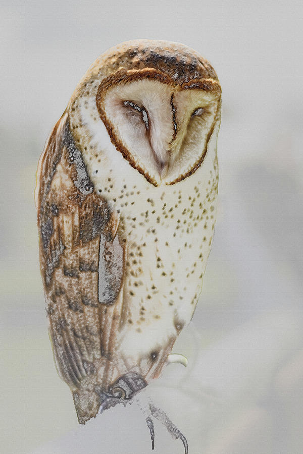 Barn Owl by Robert Mitchell