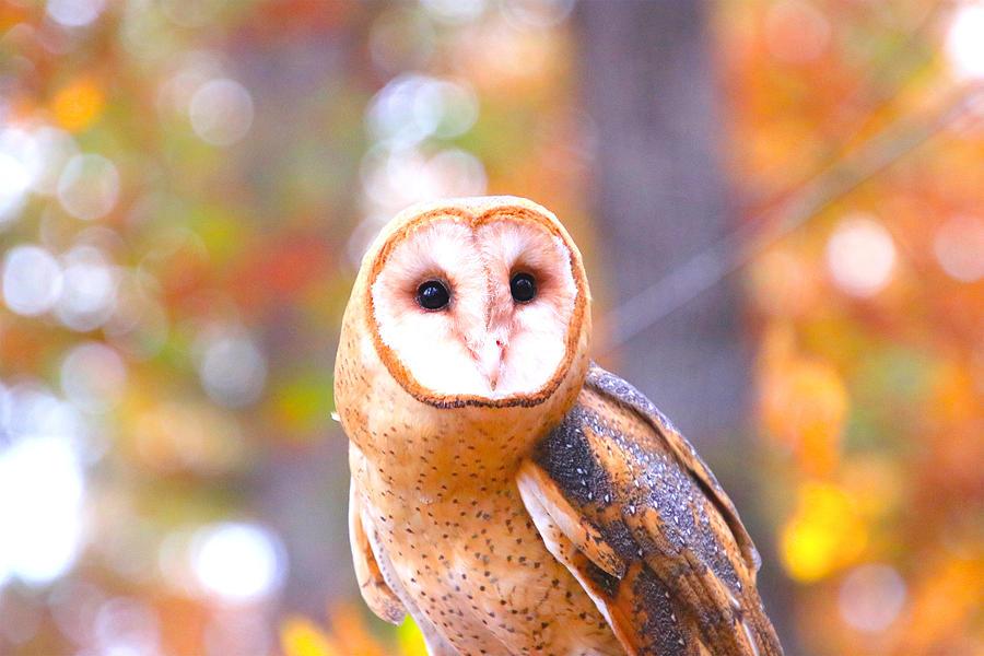 Barn Owl Photograph by Tony Umana