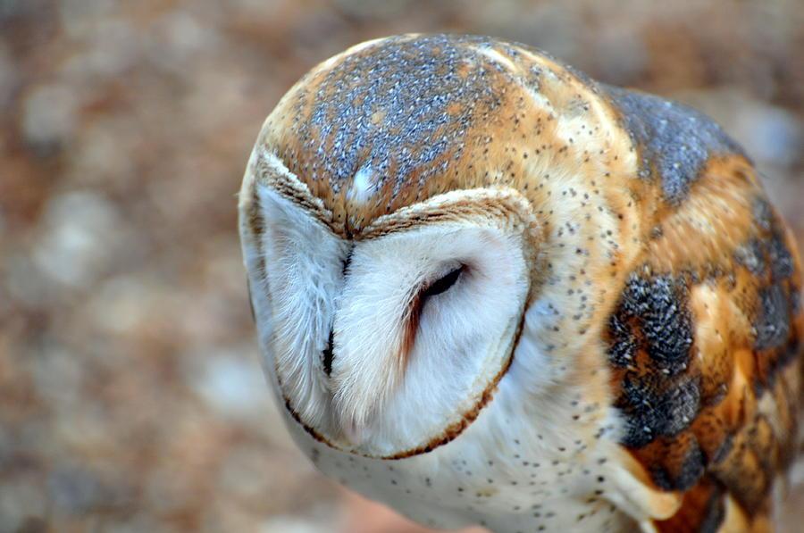 Owl Photograph - Barn Owle 1 by Marty Koch