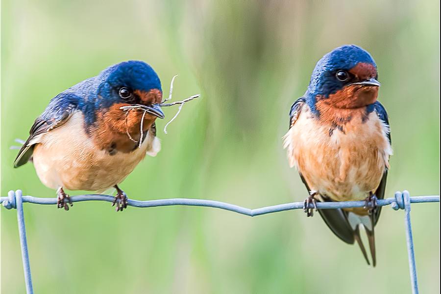 Barn Swallow Couple by Glenn Springer