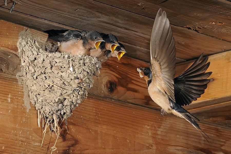 Barn Photograph - Barn Swallows At Nest by Scott  Linstead