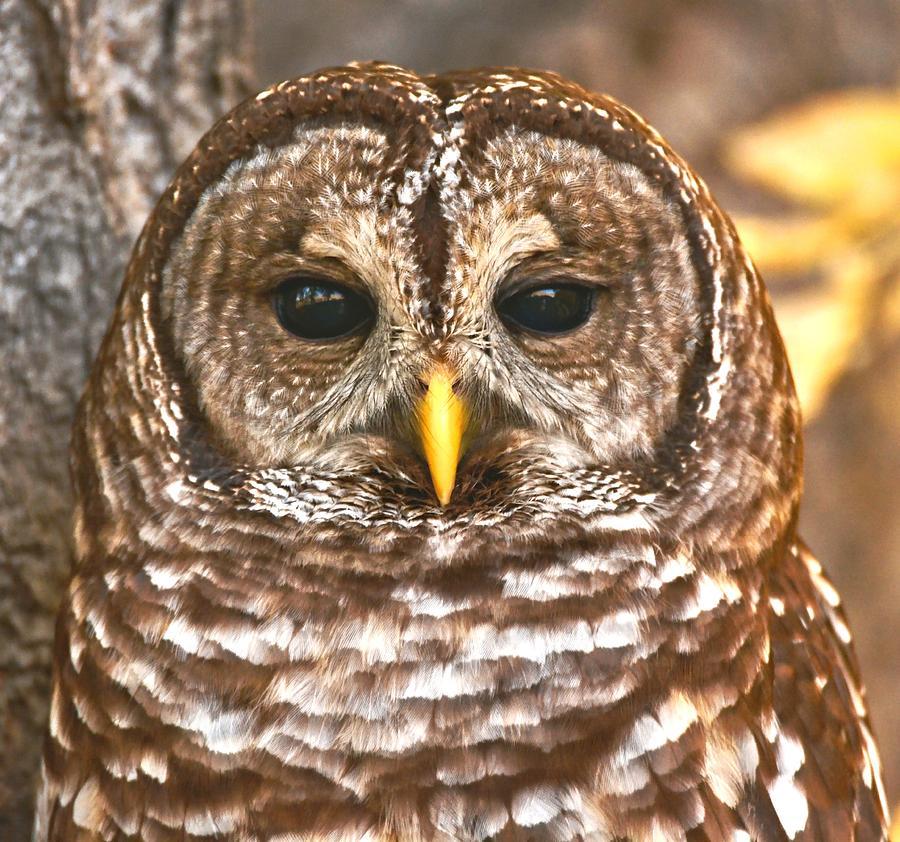 Barred Owl Photograph