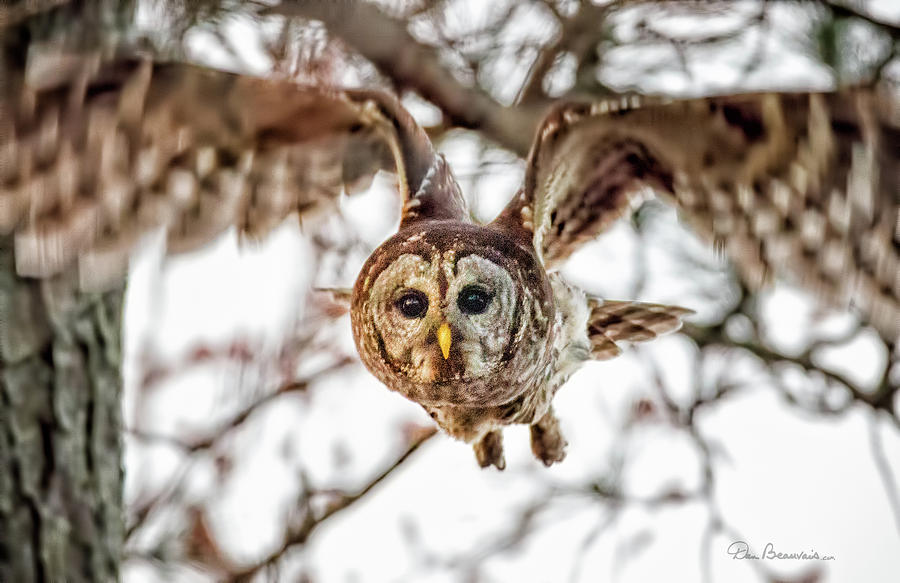Barred Owl In Flight 4830 Photograph