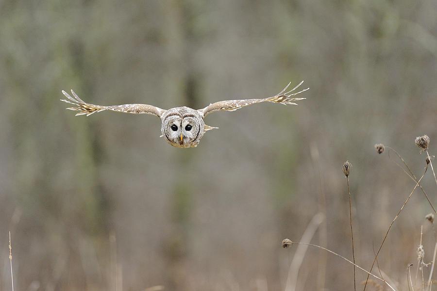 Barred Photograph - Barred Owl In Flight II by Scott  Linstead
