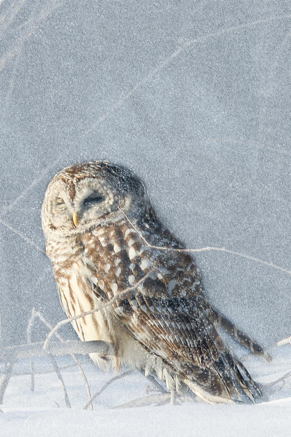 Wildlife Photograph - Barred Owl In The Snowstorm by Sharon Fiedler