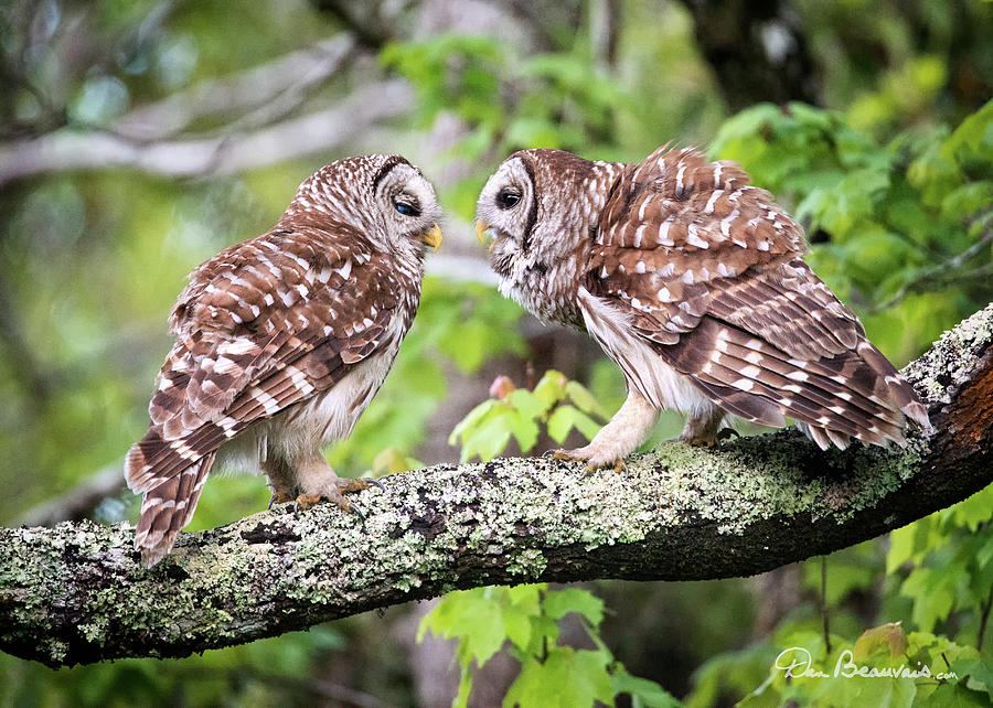 Barred Owl Pair 0051 Photograph