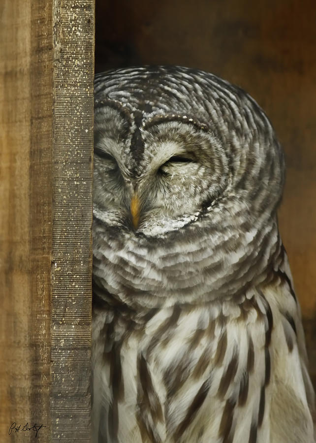 Barred Owl Photograph - Barred Owl by Phill Doherty