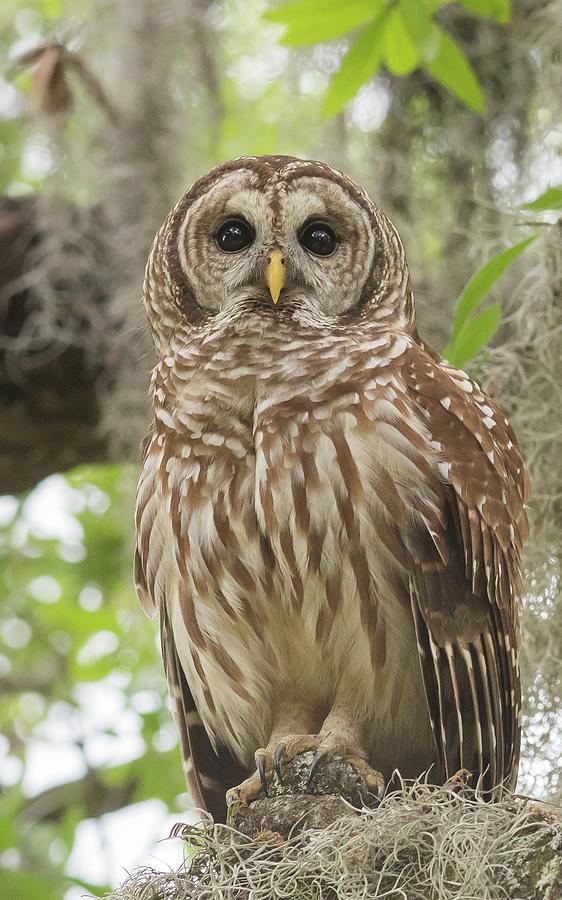 Barred Owl Portrait by Georgia Wilson