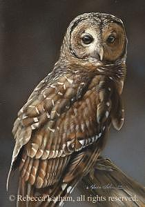 Owl Painting - Barred Owl by Rebecca Latham