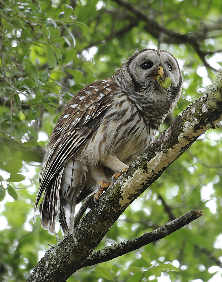 Barred Owl Photograph - Barred Owl With A Snack by Keith Lovejoy