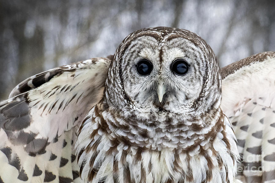 Barred Owl With Open Wings Photograph By Angie Rea
